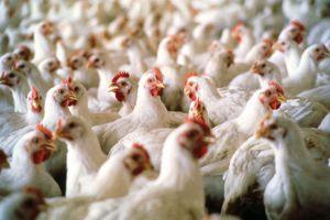 مربو الدواجن يشكون: نبيع البيض والفروج بأقل من التكلفة