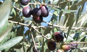 30 ألف طن إنتاج إدلب من الزيتون هذا العام