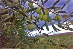 مدير زراعة اللاذقية: موسم الزيتون والحمضيات مبشر هذا العام